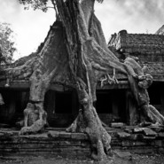 The trees of Angkor